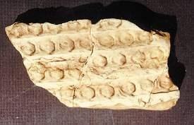 Sigillaria Lycopod Bark