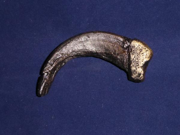sloth bear claw replica