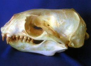Southern South American Female Sea Lion Skull