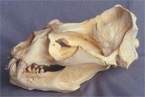 Southern S. American Male Sea Lion Skull Replica