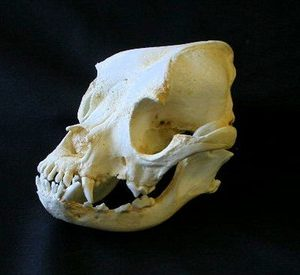 Boxer Dog Skulls Replicas Models