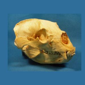 spectacled bear skull replica