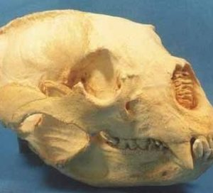 Spectacled Bear Skull Replica