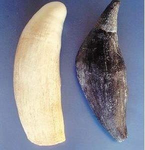 Sperm Whale Tooth Replica