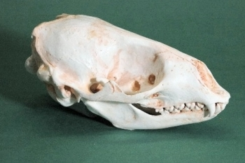Spotted Seal Skull