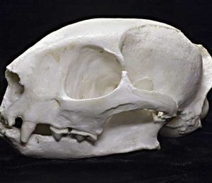 Jaguarundi Male Skull Replica