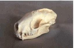 Striped Skunk Skull Replica