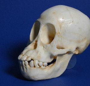 Primate Skull Replicas