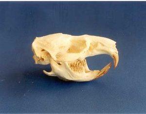 Muskrat Skulls Models Replicas