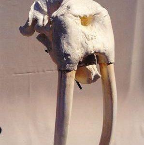 Walrus Skulls Replicas Models