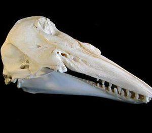 Beluga Whale Skulls Replicas Models