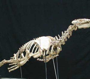 Allodesmus kelloggi mounted skeleton