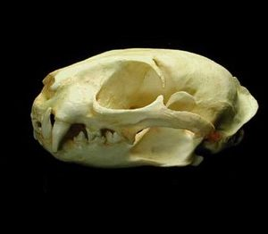 Leopard Cat Male Skulls Replicas Models