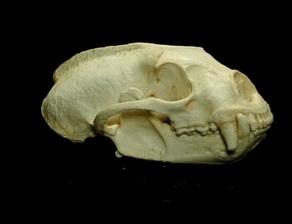 Tayra Eira BarBara Skull
