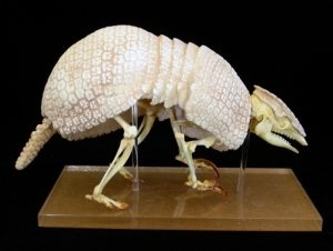 Three Banded Armadillo Complete Skeleton Replica