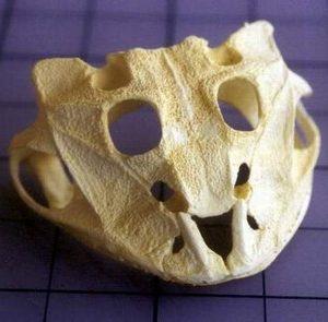 Brazilian Horned Frog Skulls Replicas Models