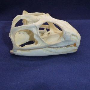 tuatara sphenodon puntatus skull