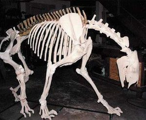 Chalicothere Moropus Elatus Disarticulated Skeleton