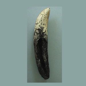 tyrannosaurs dinosaur tooth replica