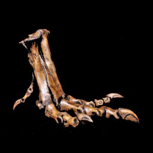 tyrannosaurus rex foot replica