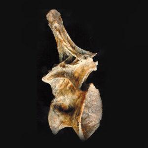ultrasaurus dorsal vertebra replica