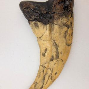 utahraptor dinosaur claw replica