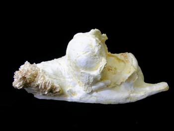 Asian Elephant Brain Cast Model Replica
