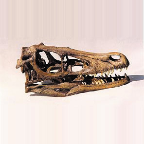 velociraptor dinosaur skull replica