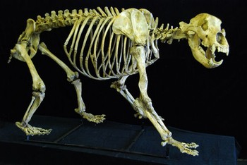 Cave Bear Mounted Complete Skeleton