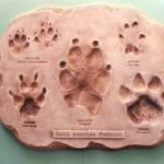 North American Mammal Predators Footprint Assortment