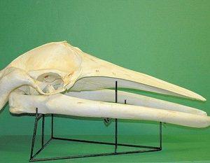 Minke Whale Skulls Replicas Models