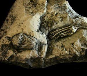 Crinoid Dizygocrinus Hisforcrinus Plaque