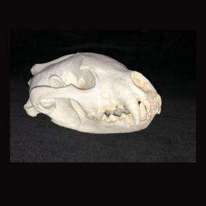 wolverine skull replica
