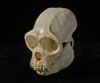 Woolly Monkey Skull