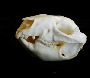 Kangaroo Rat Skulls Replicas Models