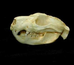 Cuscus Male Skulls Replicas Models