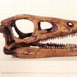 xnQMr-HJcBc-cQoeL-Eoraptor_dinosaur_skulls_models_replicas