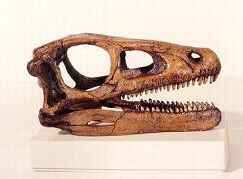 eoraptor dinosaur skull replica