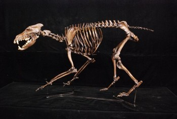 Dire Wolf Canis Dirus Complete Mounted Skeleton Replica Models