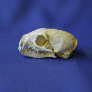 yellow mongoose skull replica