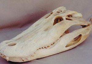 American Alligator Skull Replica