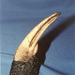 Ornithomimus Foot Claw Dinosaur Fossil
