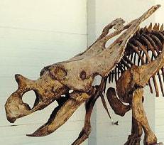 Chasmosaur Belli dinosaur skull