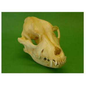 Pitbull Dog Skull Replica