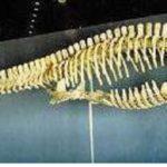 Plesiosaur_skeleton_mounted_AA108