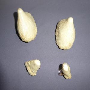 bairds beaked whale teeth