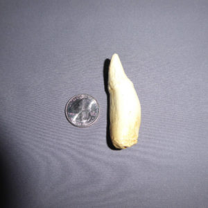 false killer whale tooth
