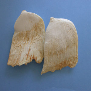hubbs beaked whale tooth replicas