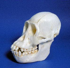 sumatran orangutan female skull