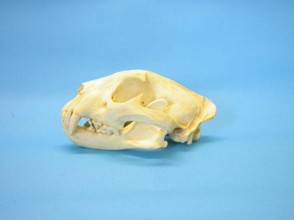 african leopard male skull